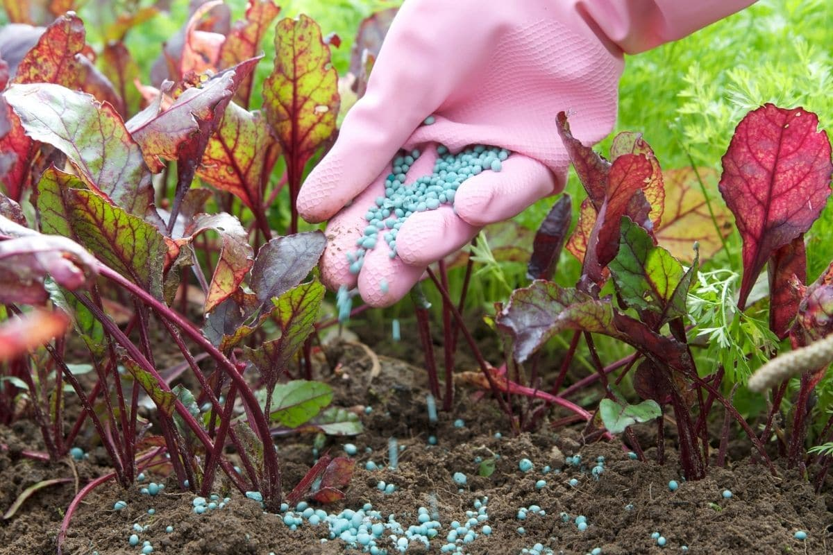 hand of a gardener wearing pink plastic garden gloves spreading fertilizer onto the plant in the garden