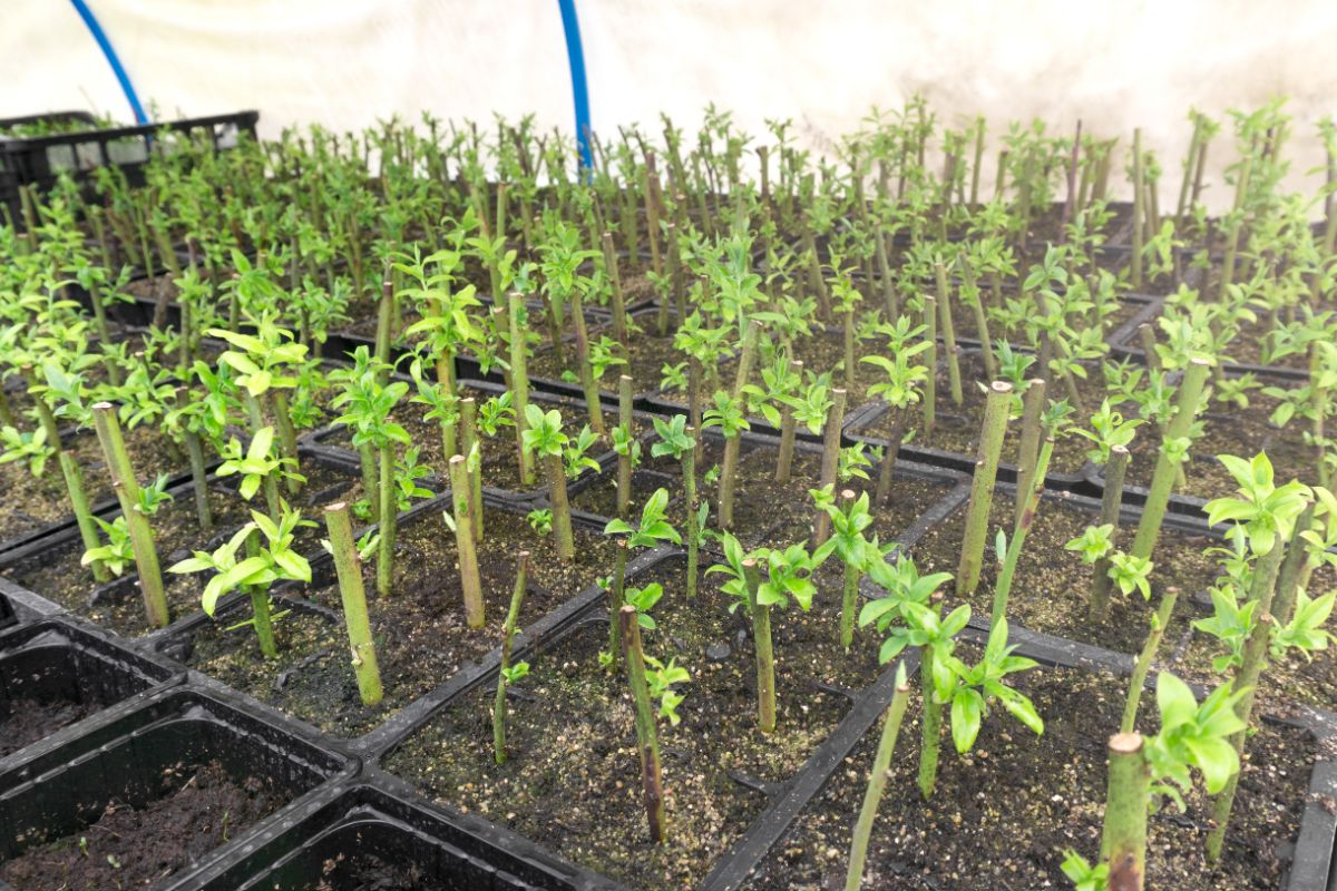 Blueberry cuttings in their container for propagation inside the greenhouse