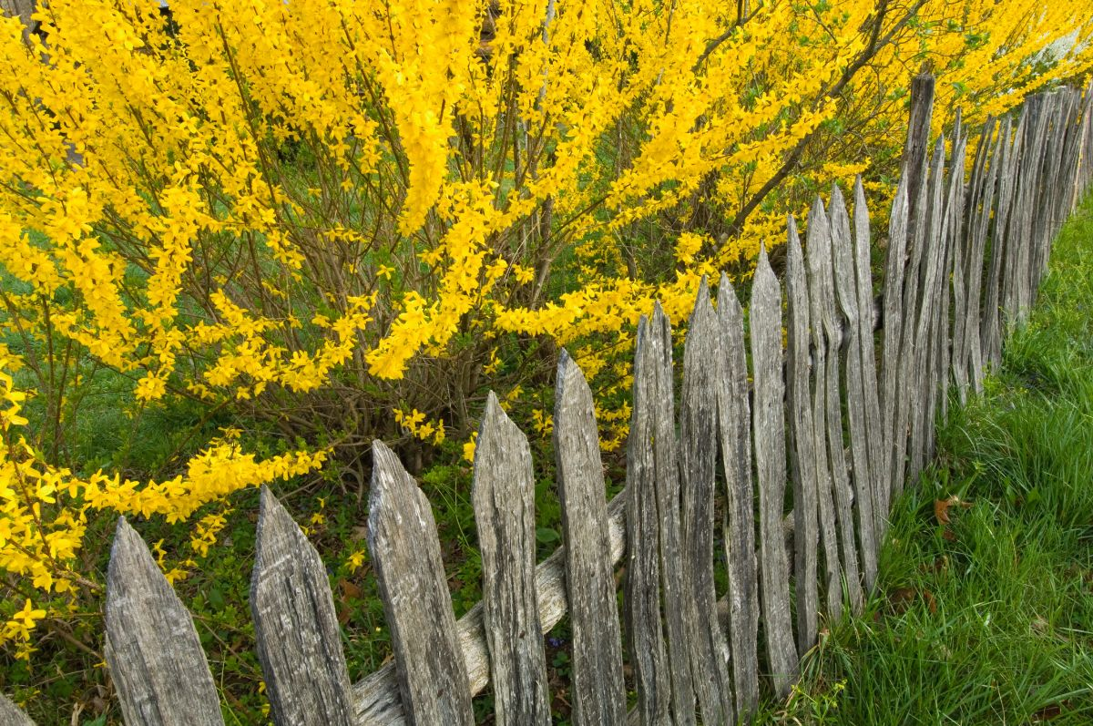 yellow Forsythia growing behind the fence