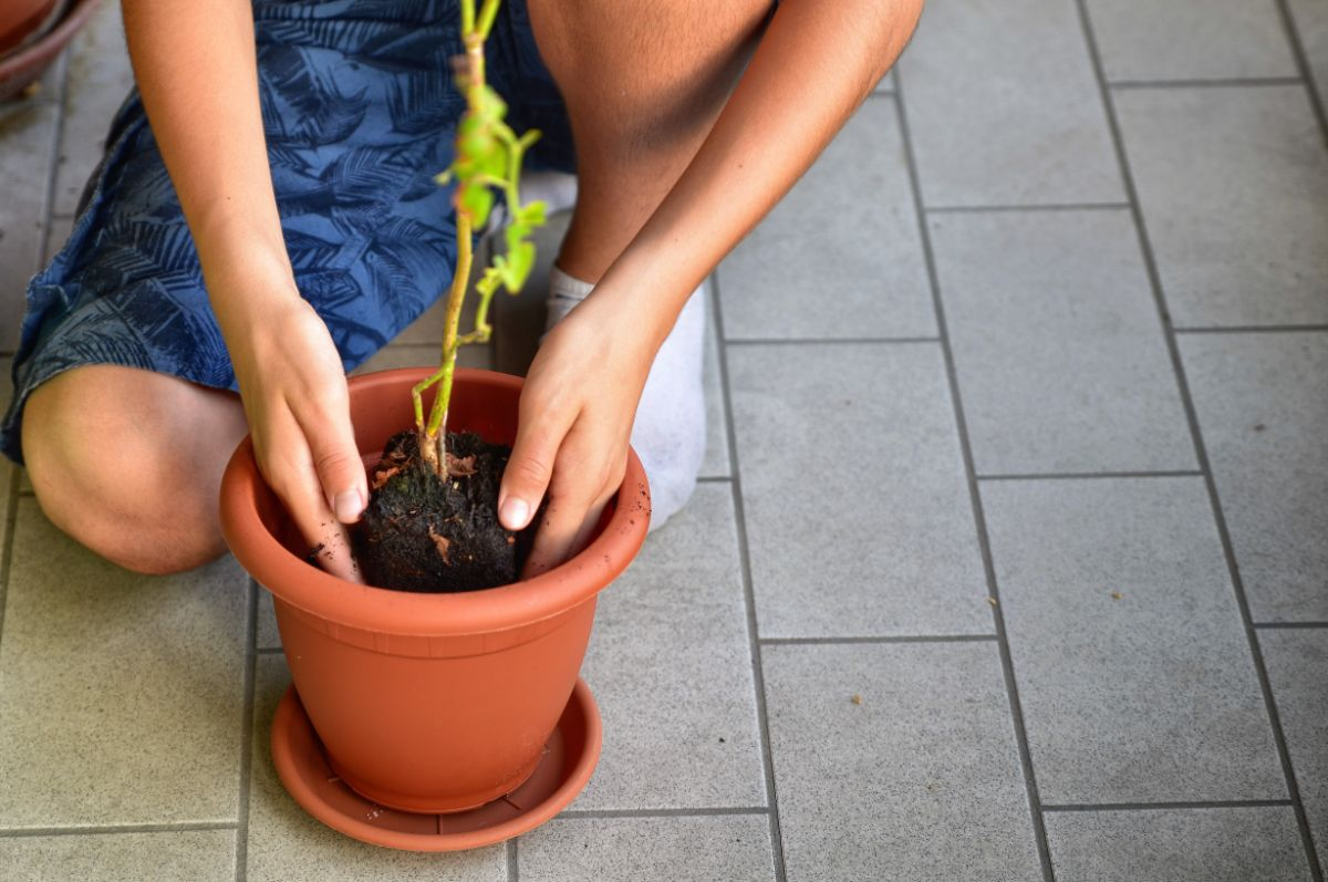 repotting a propagated blueberry cutting to a bigger pot by a young boy