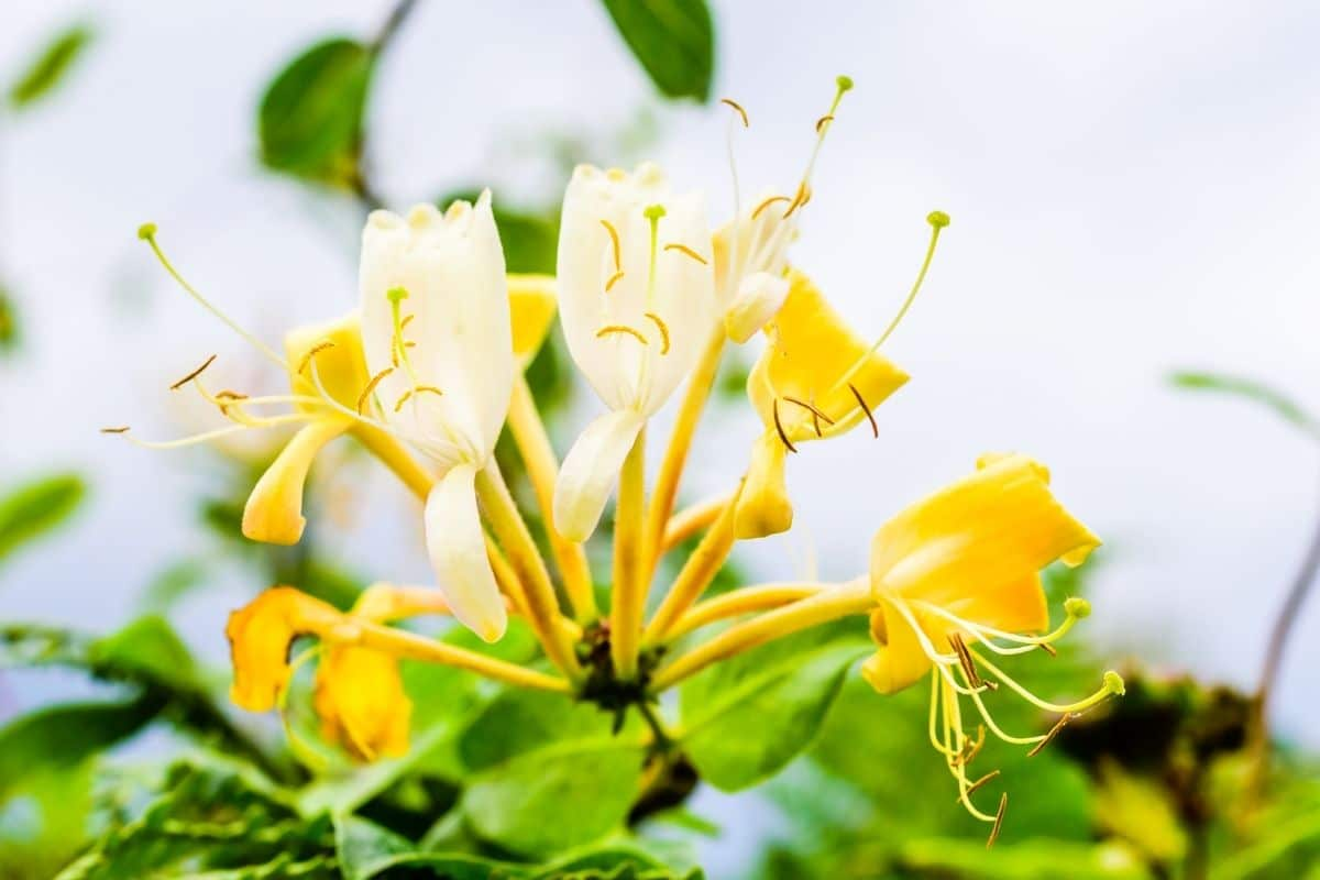 blooming yellow Honeysuckle flowers