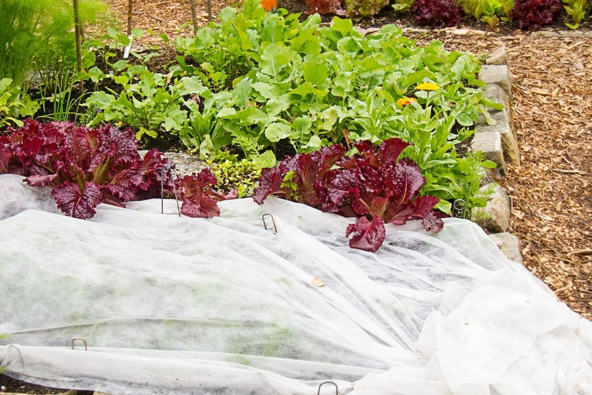 lettuce plants in the garden with some of its parts are covered with white plastic