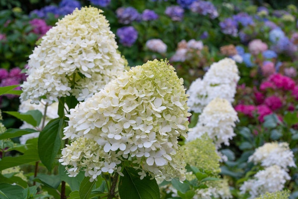 field of Hydrangeas in variety of colors