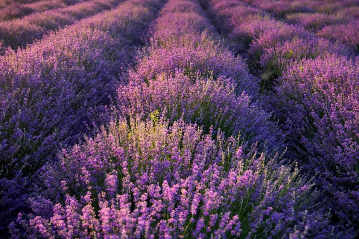 beautiful field of Lavenders under the sunlight