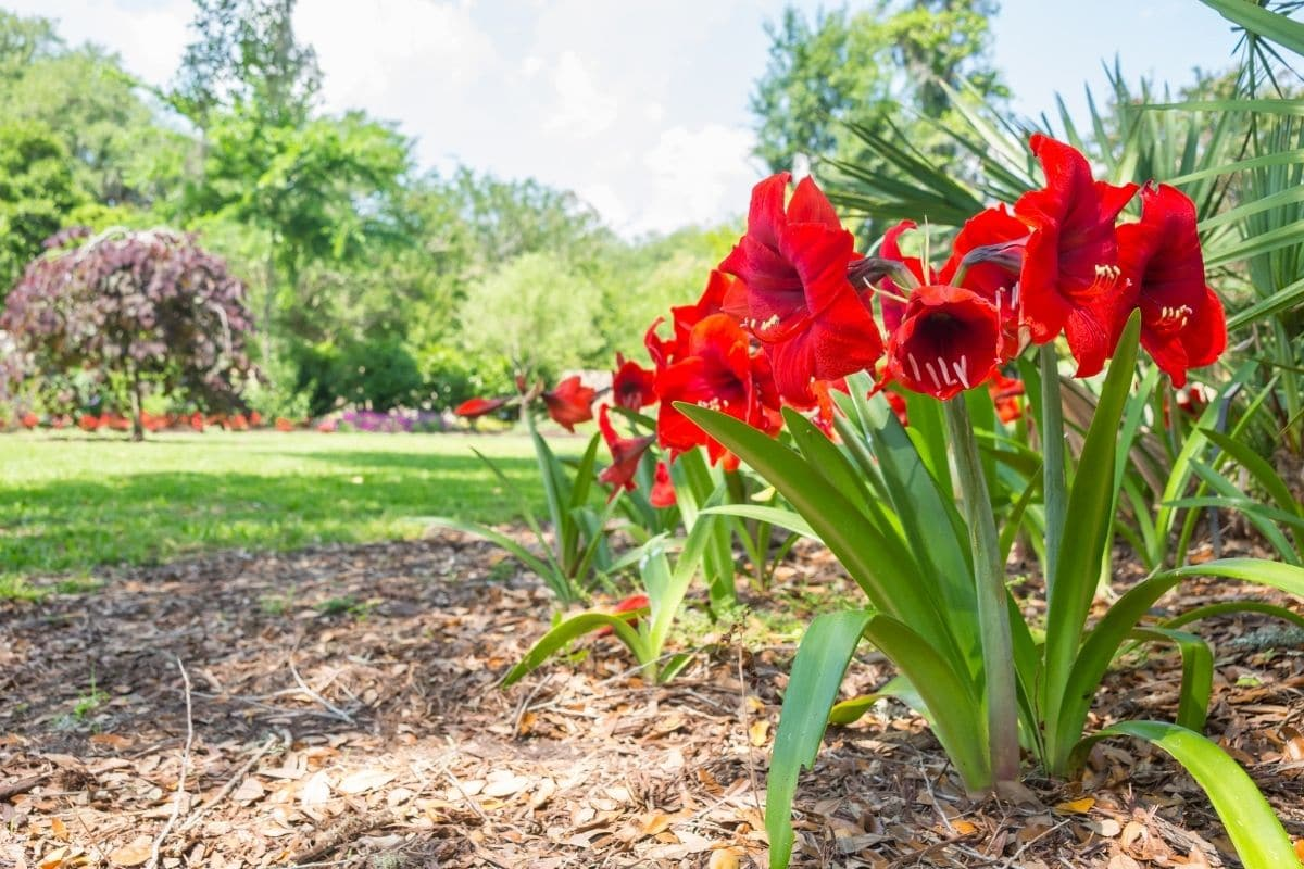 Amaryllis with red flowers in the lawn