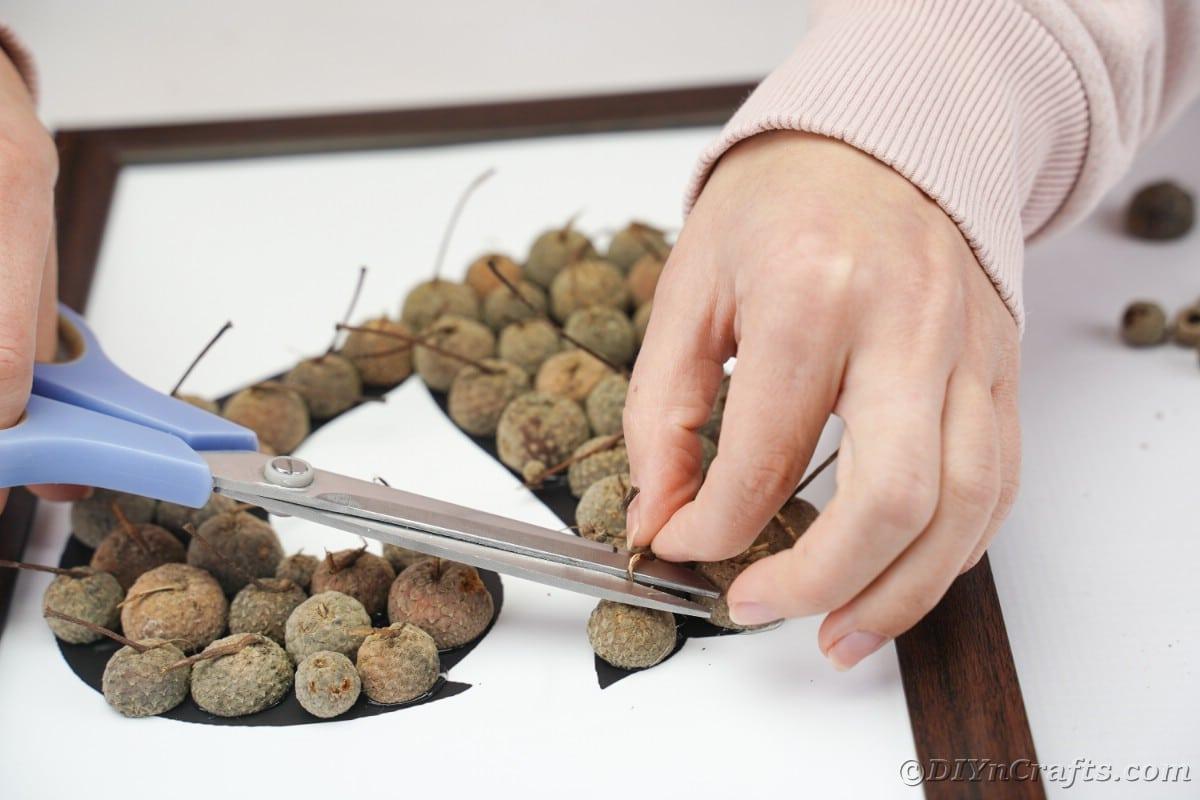 Scissors trimming excess stem from acorns