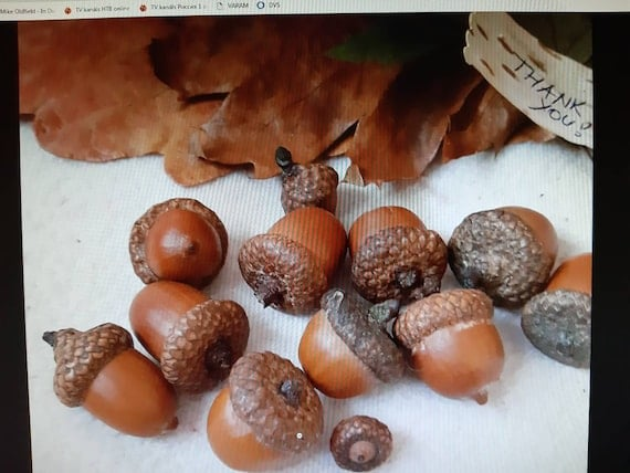 Dried oak acorns with caps natural acorn nut real canadian   Etsy