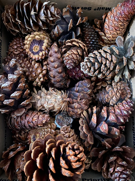 20 Pinecones, variation for craft and decor