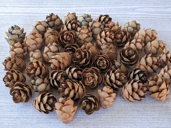 Tiny Pinecones Real Pinecones Small Natural Fall Decor Fairy House Supplies Christmas Winter Crafts Rustic Holiday Autumn Wedding - 25 or 50